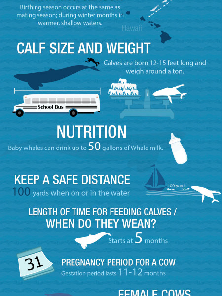 Hawaii Humpback Whale Facts Infographic