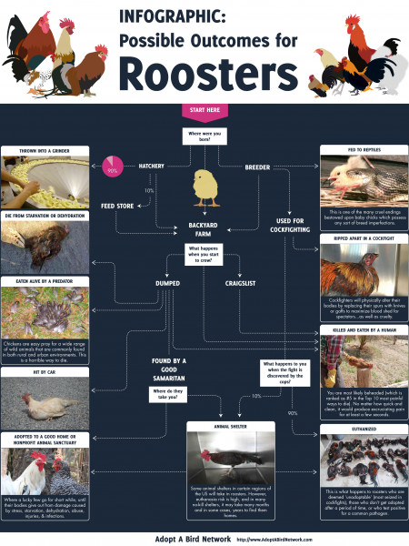 Infographic: Possible Outcomes for Roosters Infographic
