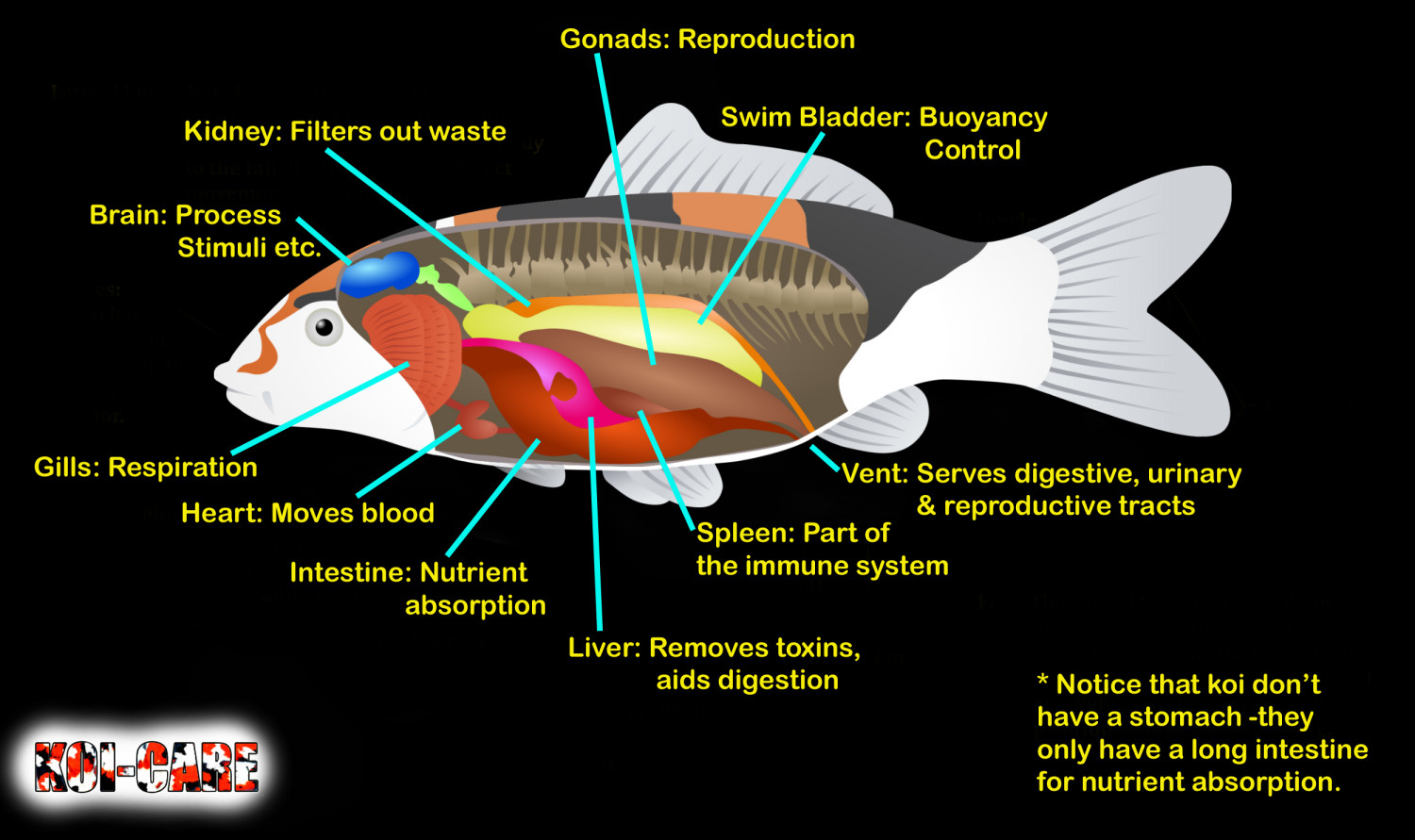 Internal organs of a koi visual internal organs of a koi infographic pooptronica