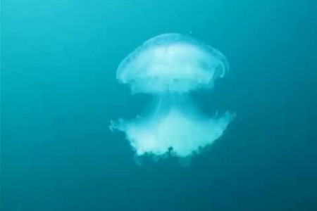 Jelly fish flying in Andaman Sea, Thailand Infographic