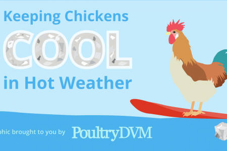 Keeping Chickens Cool in Hot Weather Infographic