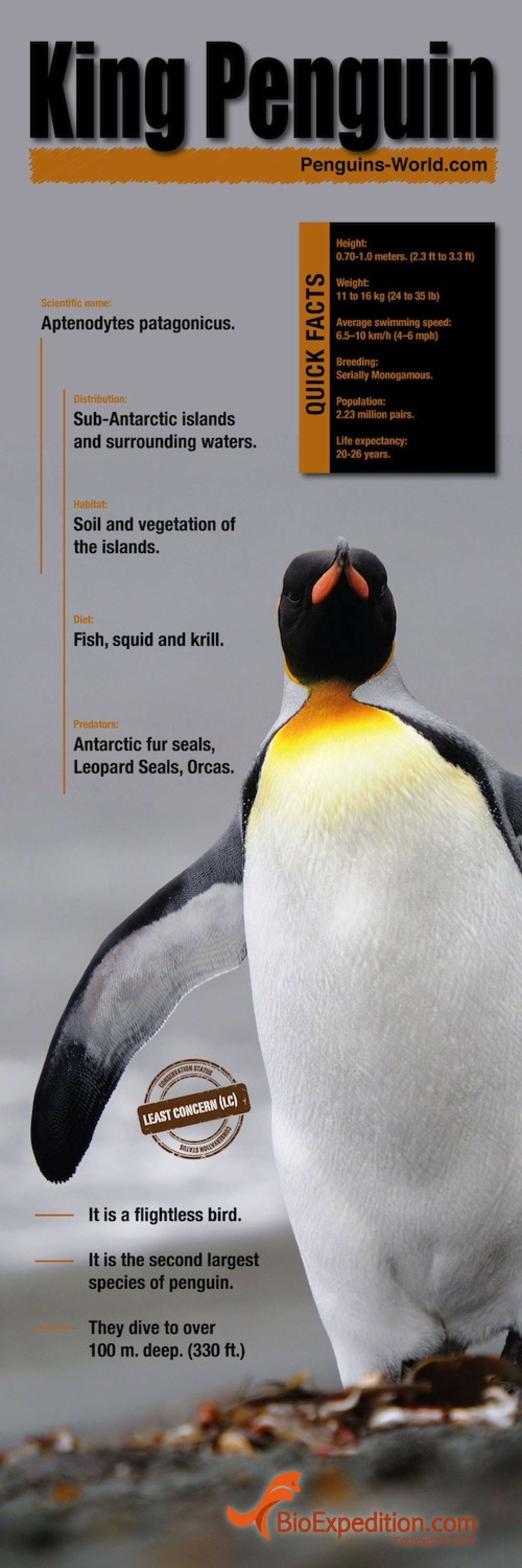King Penguin Infographic