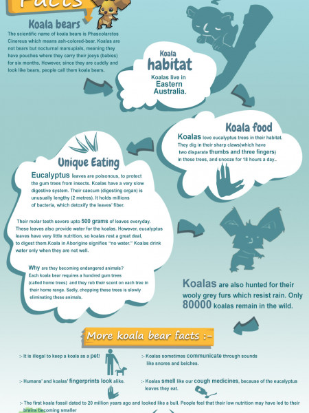 Koala Bear Facts Infographic