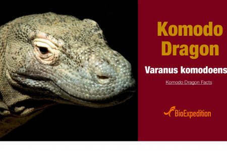 Komodo Dragon Infographic