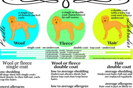Labradoodle Coat & Grooming Infographic