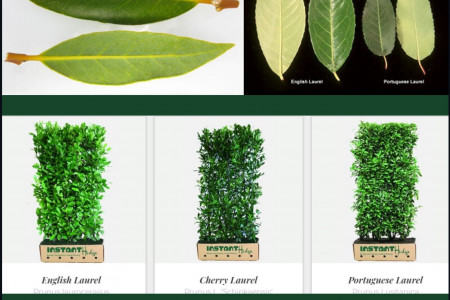 Laurel Privacy Hedges | Portuguese, Schip, English Infographic