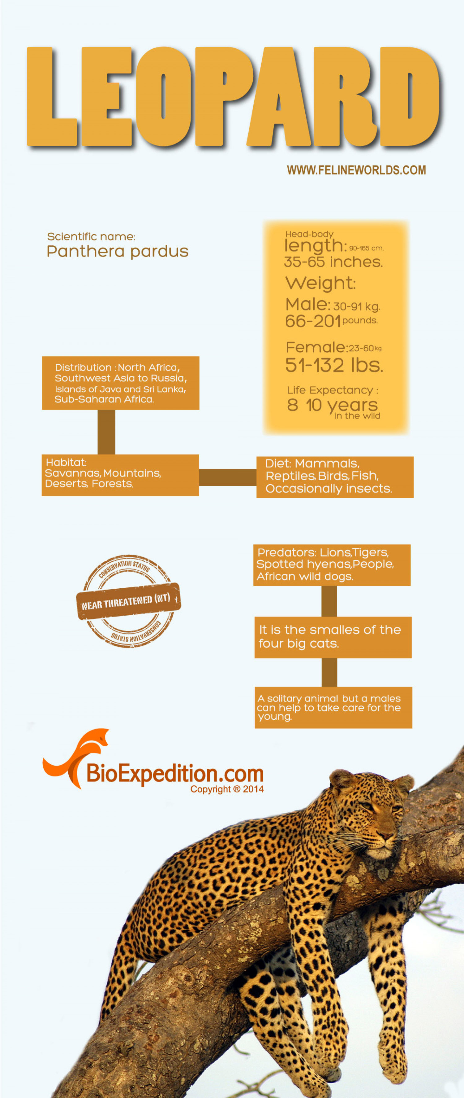 Leopard Infographic