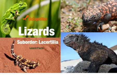 Lizards Infographic