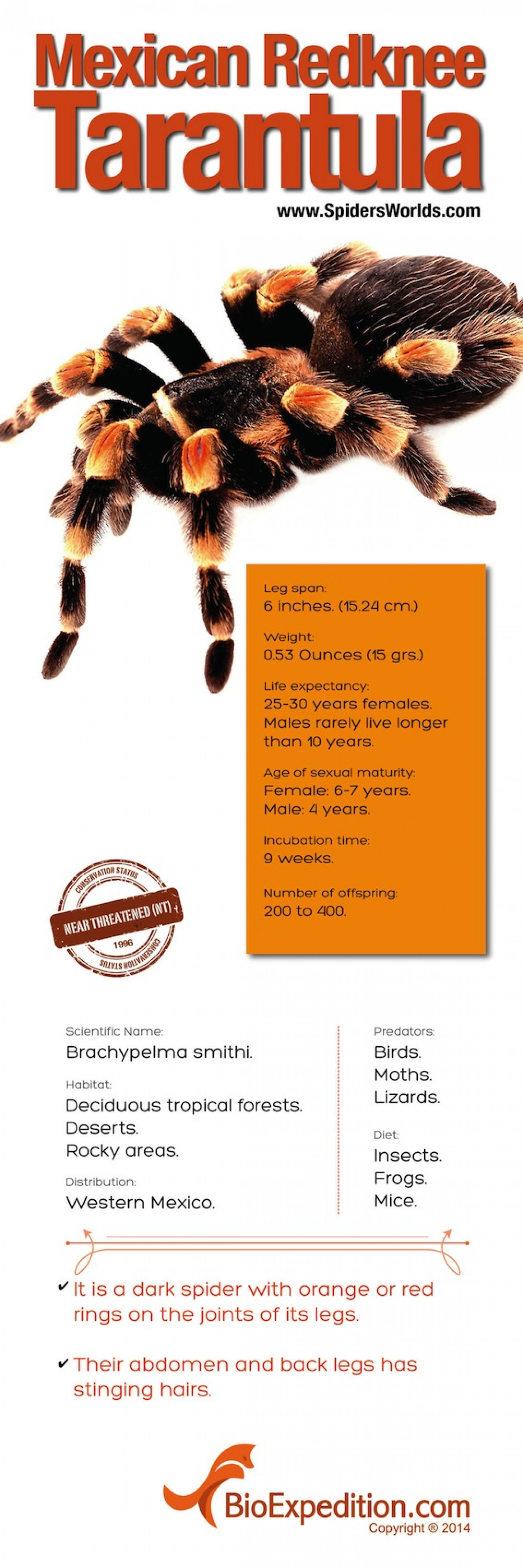 Mexican red-kneed tarantula Infographic