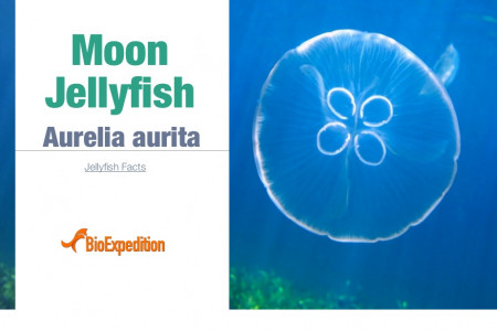 Moon Jellyfish Infographic