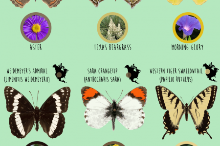 North American Butterflies Infographic