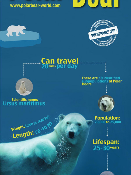 Polar Bear Infographic
