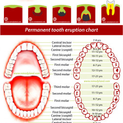 primary and permanent teeth eruption chart visually