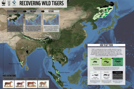 Recovering Wild Tigers Infographic