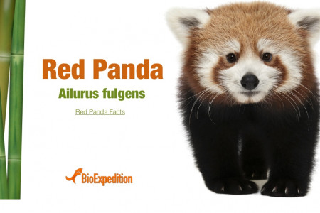 Red Panda Infographic