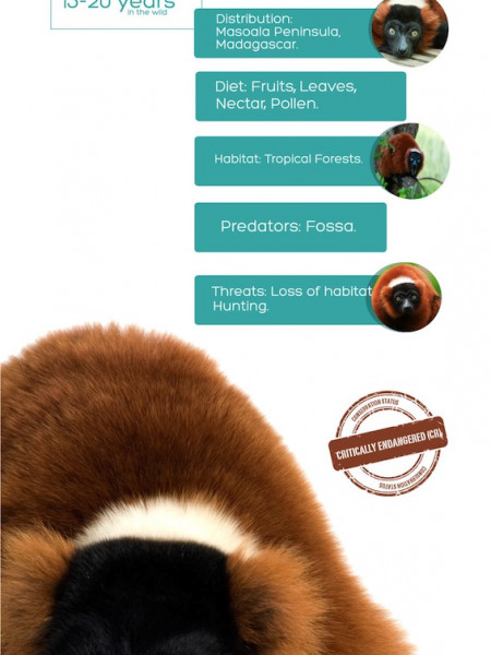 Red Ruffed Lemur Infographic