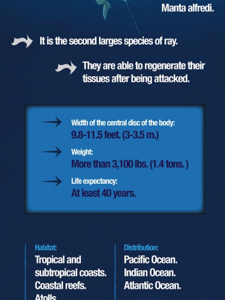 Reef Manta Ray Infographic