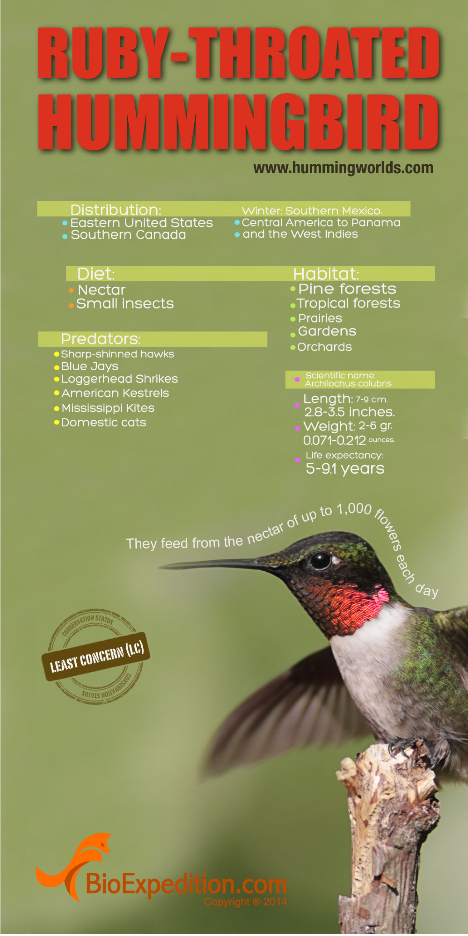 Ruby-Throated Hummingbird Infographic