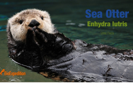 Sea Otter Infographic