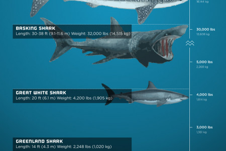Shark Weight - The Most Massive Sharks Infographic