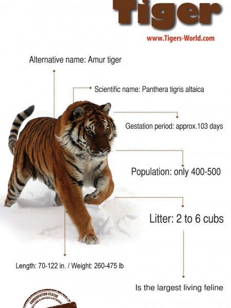 Siberian Tiger Infographic