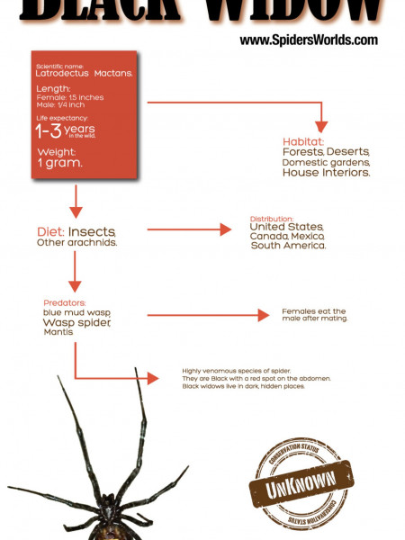 Southern Black Widow Infographic