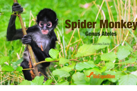 Spider Monkey Infographic