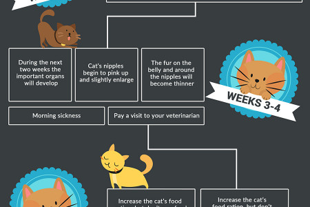 Stages of Cat Pregnancy - Feline Labor and Birth Infographic