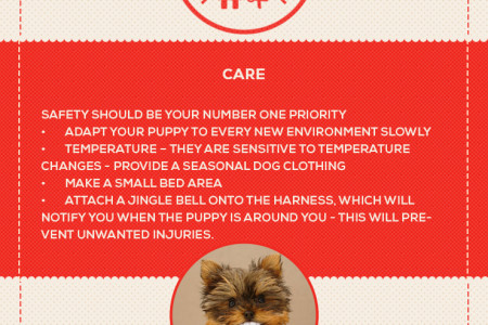 Teacup Yorkies Infographic - all about Teacup Yorkshire terriers Infographic