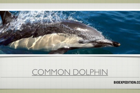 The Common Dolphin - Delphinus delphis Infographic