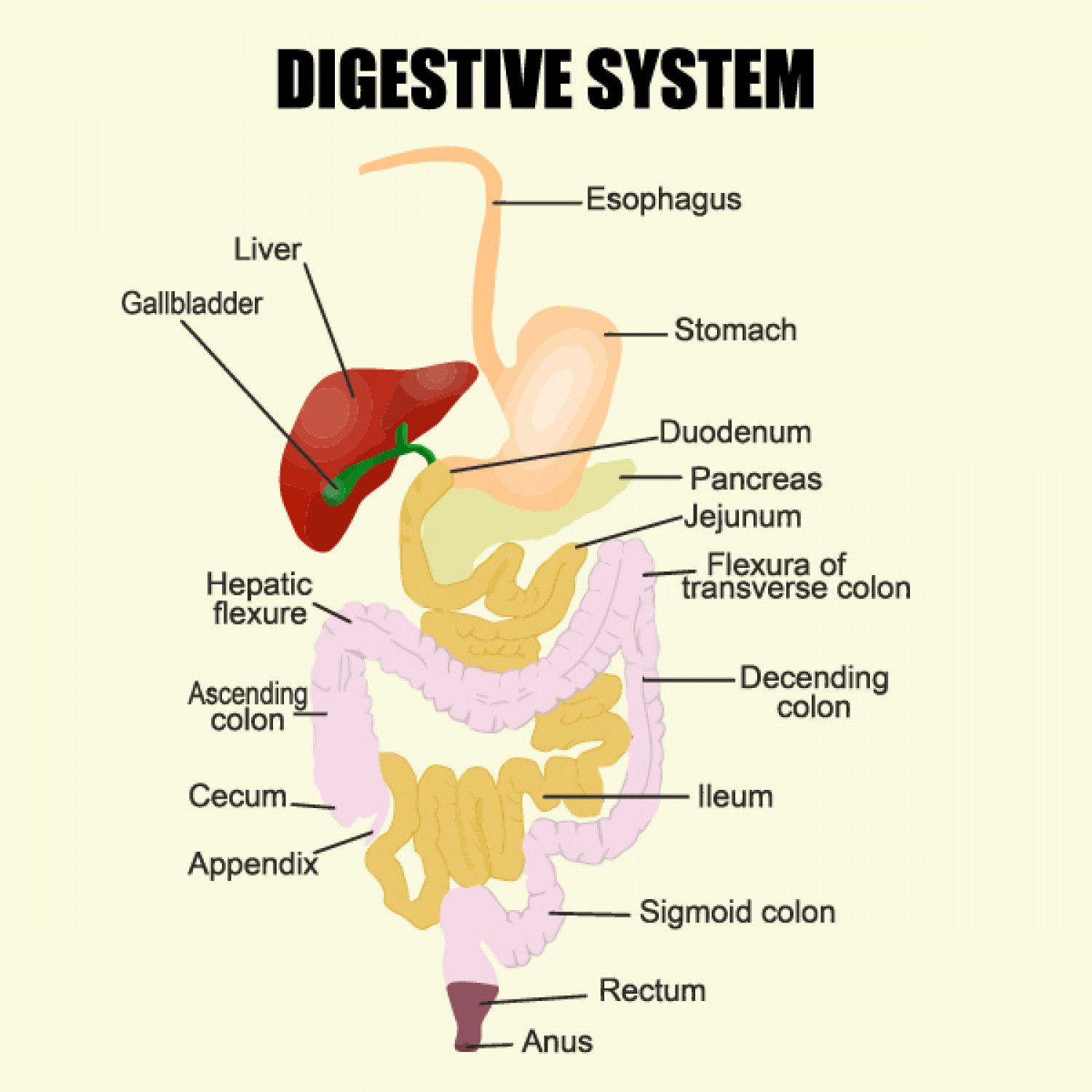 The Digestive System Visual