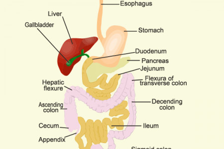 The Digestive System Infographic