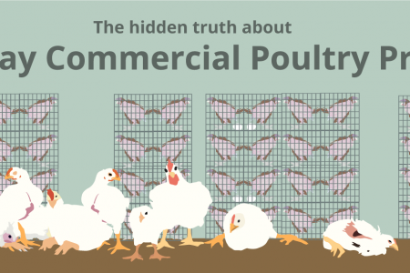 The Hidden Truth about Modern Day Commercial Poultry Production Infographic