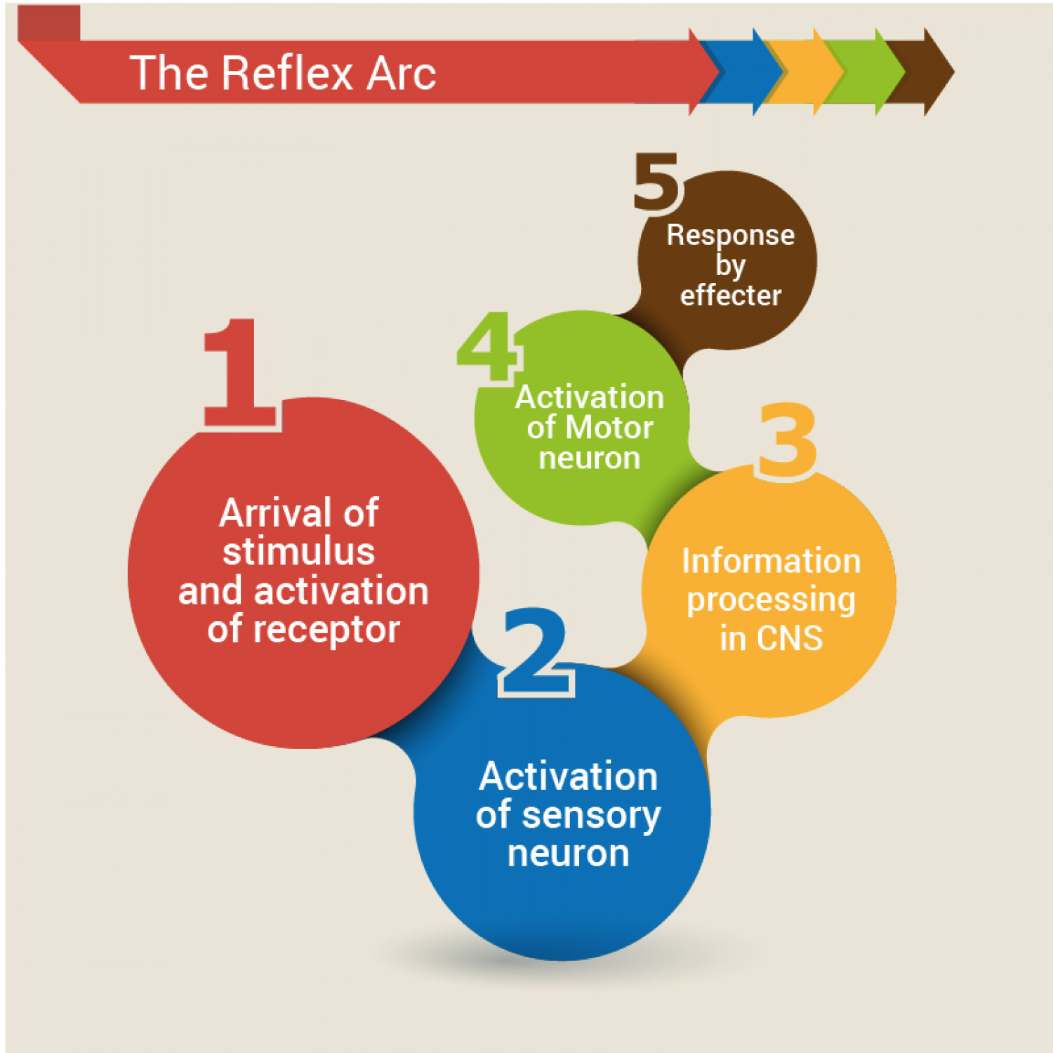 the reflex arc A reflex arc represents a mechanism by which a physiological function is automatically managed or regulated reflex arcs can be found throughout the body, ranging from skeletal muscles to.