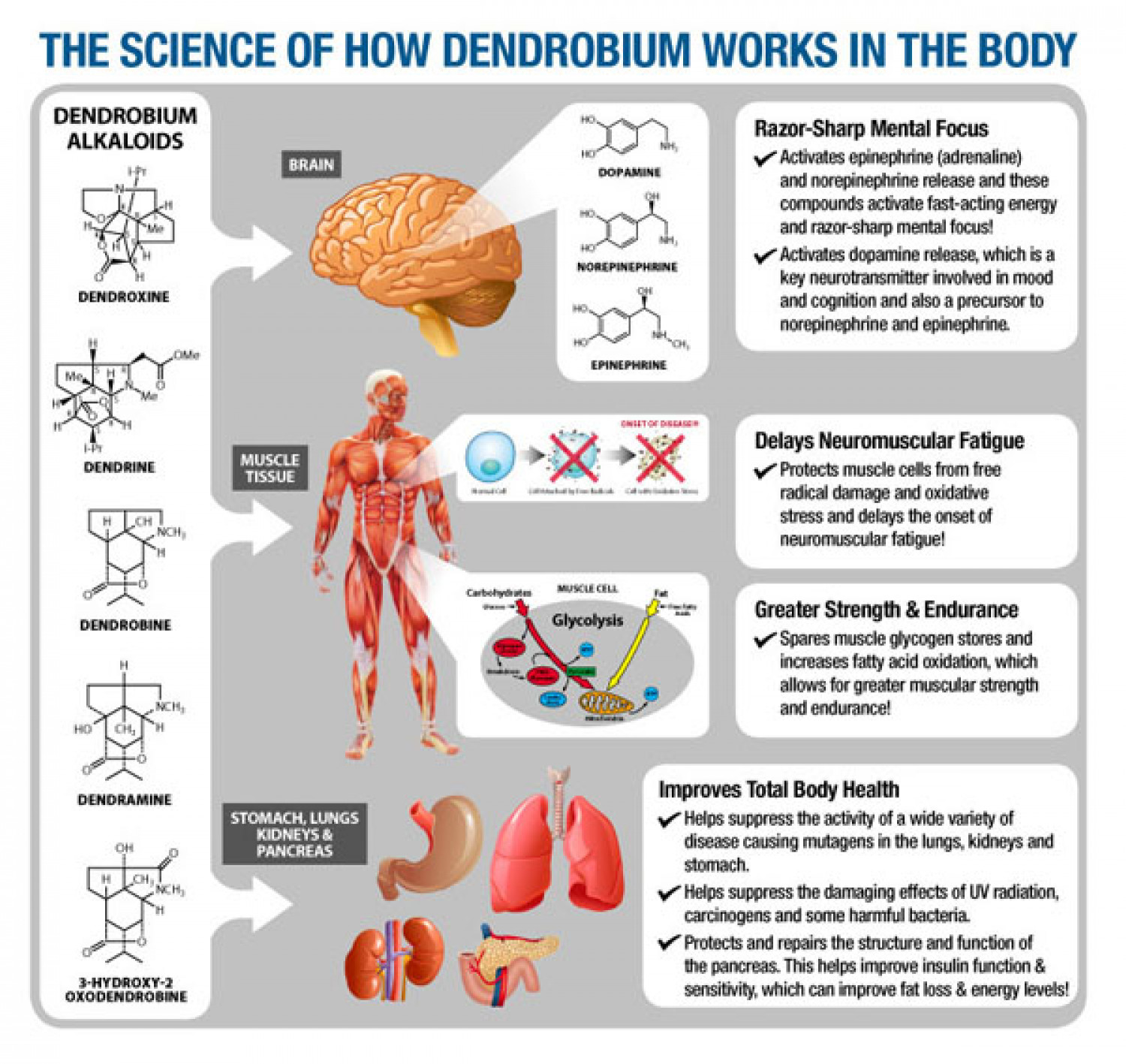 The science of how Dendrobium works in body. Infographic