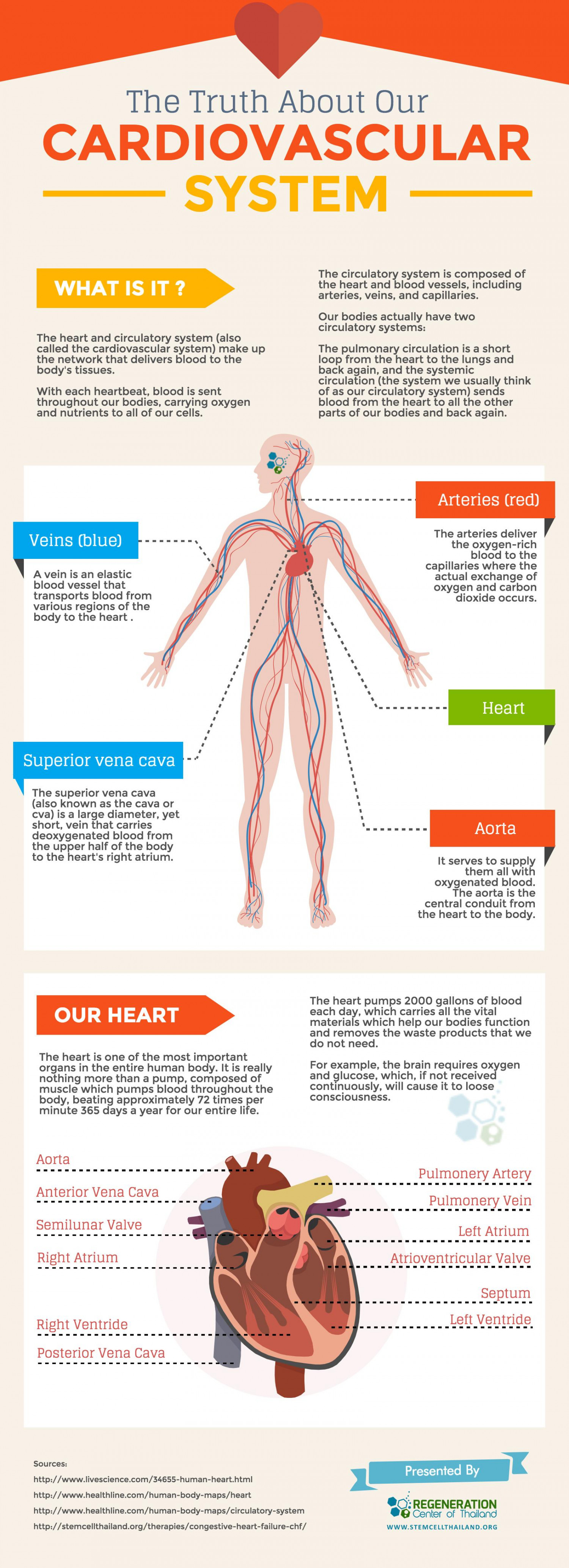 The Ultimate Guide To The Human Cardiovascular System Visual