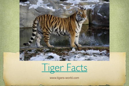 Tiger Facts Infographic