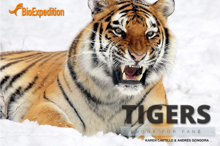 Tigers, the biggest cats Infographic