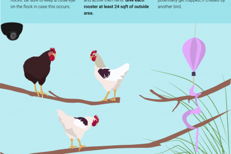 Tips for Keeping Bachelor Flocks Infographic