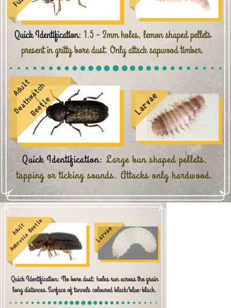Types of Woodworm Beetles Infographic