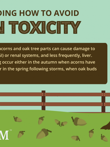 Understanding How to Avoid Acorn Toxicity in Horses Infographic