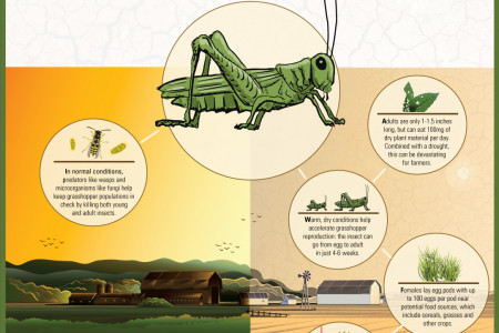 Why grasshoppers love droughts  Infographic