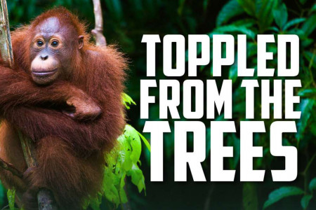 World Orangutan Day: How Shampoo Is Killing the Great Apes Infographic